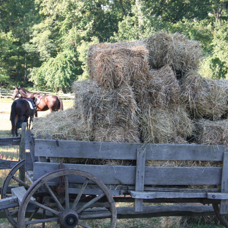 The horses and oxen fed on local hay